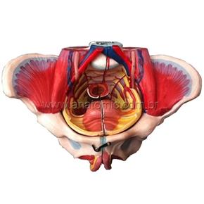 Pélvis Feminina Clássica com Músculos e Orgão Genital Feminino 4 partes