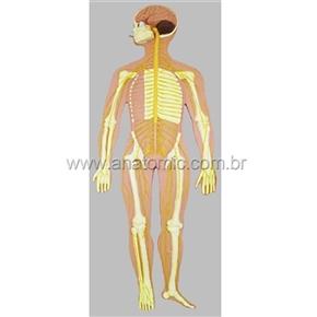 Sistema Nervoso Montado em Prancha de Madeira