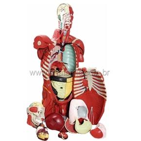 Torso Masculino Musculado 108 cm com Órgãos Internos
